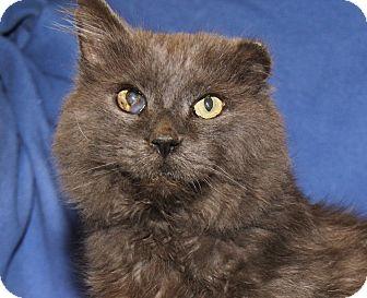 Domestic Mediumhair Cat for adoption in Marietta, Ohio - Ol' Man (Neutered) - Update