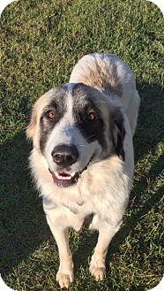 Anatolian Shepherd/Great Pyrenees Mix Dog for adoption in Irmo, South Carolina - Sara