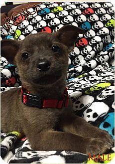 Chihuahua/Terrier (Unknown Type, Small) Mix Puppy for adoption in DeForest, Wisconsin - Rojo