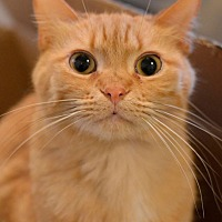 Domestic Shorthair Cat for adoption in Geneseo, Illinois - Rusty3
