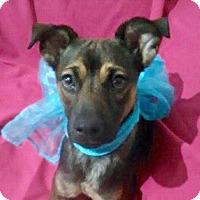 Shepherd (Unknown Type)/Terrier (Unknown Type, Medium) Mix Puppy for adoption in Irvine, California - SHASTA