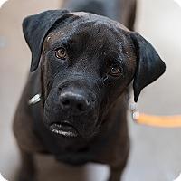 Mastiff/Labrador Retriever Mix Dog for adoption in Kanab, Utah - Bull