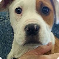 Bulldog/Australian Shepherd Mix Puppy for adoption in Pompton Lakes, New Jersey - georgia