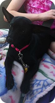 Chihuahua Puppy for adoption in Albert Lea, Minnesota - Lucy