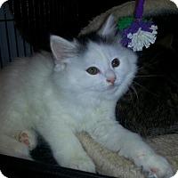 Adopt A Pet :: Puff - Hamilton, ON