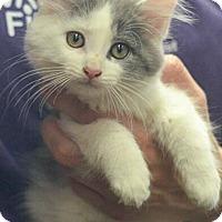 Adopt A Pet :: Deese - Reston, VA