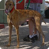 Adopt A Pet :: Bently - Tucson, AZ