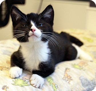 Domestic Shorthair Kitten for adoption in Maynardville, Tennessee - Atticus