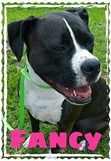 Boxer/American Bulldog Mix Dog for adoption in Jacksonville, Florida - Fancy