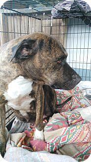Mastiff Mix Dog for adoption in springtown, Texas - Lacey