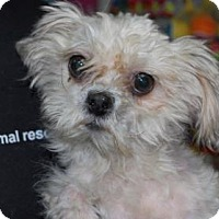 Adopt A Pet :: Cookie - Brooklyn, NY