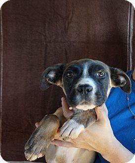Bullmastiff/German Shepherd Dog Mix Puppy for adoption in Oviedo, Florida - Alina