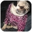Photo 2 - Pug Dog for adoption in Mays Landing, New Jersey - Peony