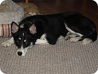 Husky/Australian Kelpie Mix Dog for adoption in Rawlins, Wyoming - Sequoia