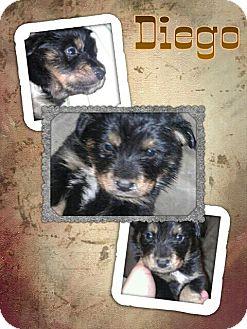 Shar Pei/Rottweiler Mix Puppy for adoption in Scottsdale, Arizona - Diego