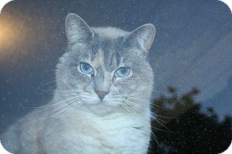 Siamese Cat for adoption in Santa Rosa, California - Eva