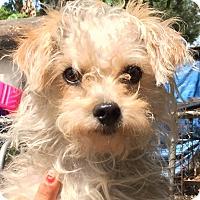 Adopt A Pet :: Dee Dee - Orlando, FL