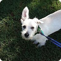 Adopt A Pet :: Scotty - Alpharetta, GA