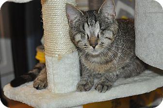 Domestic Shorthair Cat for adoption in Anderson, South Carolina - Tara (Blind)