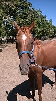 Quarterhorse Mix for adoption in Hitchcock, Texas - Maddison