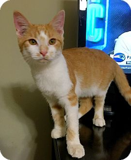 Domestic Shorthair Kitten for adoption in Knoxville, Tennessee - Ollivander