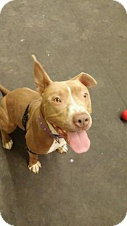 Pit Bull Terrier Mix Dog for adoption in Dartmouth, Massachusetts - Jaiden