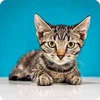 Adopt A Pet :: Briley - Chandler, AZ