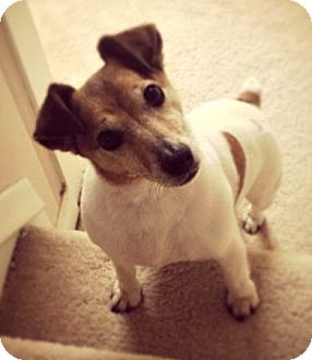 Jack Russell Terrier Dog for adoption in Boulder, Colorado - Gracie URGENT (FOSTER OR ADOPT