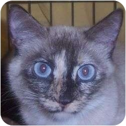Siamese Cat for adoption in Andover, Kansas - Magdalyn