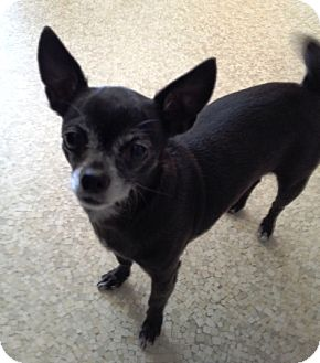 Chihuahua Mix Dog for adoption in Richmond, Virginia - Fru Fru