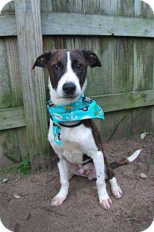 Hound (Unknown Type)/Labrador Retriever Mix Puppy for adoption in Darlington, South Carolina - Saul