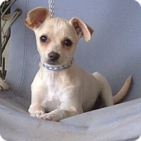 Adopt A Pet :: Joy - Toluca Lake, CA