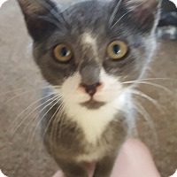 Adopt A Pet :: Nina 1 - Plainville, MA