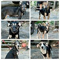 Adopt A Pet :: SHEPERD X PUPPIES - Pompton Lakes, NJ