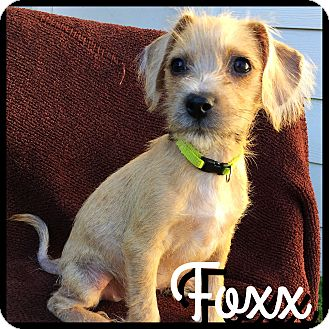 Border Terrier/Dachshund Mix Puppy for adoption in Boulder, Colorado - Fox