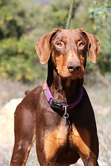 Doberman Pinscher Dog for adoption in Fillmore, California - Roy
