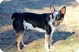 Australian Cattle Dog Mix Dog for adoption in Salem, New Hampshire - HUNTSMAN