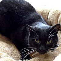 Domestic Shorthair Cat for adoption in Buena Vista, Colorado - Penguin