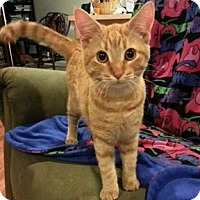 Domestic Shorthair Kitten for adoption in Arlington, Virginia - Saturn-(and Cutty)