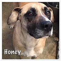 Adopt A Pet :: Honey - North Brunswick, NJ