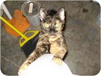 Domestic Shorthair Cat for adoption in Tomball, Texas - June Bug