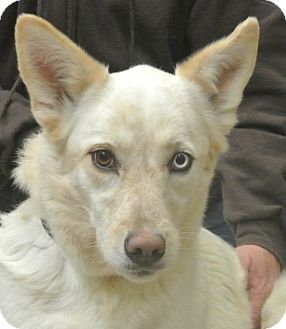 Cattle Dog/Shepherd (Unknown Type) Mix Dog for adoption in white settlment, Texas - Savannah