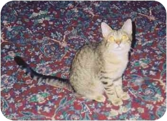 Domestic Shorthair Cat for adoption in Fayette, Missouri - Stripes