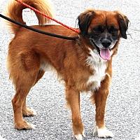 Adopt A Pet :: Boots - Grafton, MA