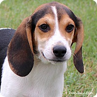 Adopt A Pet :: Triscuit - Bedford, VA