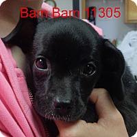 Adopt A Pet :: Bam bam - baltimore, MD