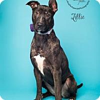 Adopt A Pet :: Lillie - Visalia, CA