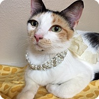 Calico Cat for adoption in Pasadena, Texas - Chantel