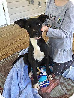 Labrador Retriever Mix Puppy for adoption in Cumming, Georgia - Yoda