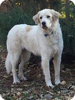 Great Pyrenees Dog for adoption in Tulsa, Oklahoma - Dinah  *Medical Hold